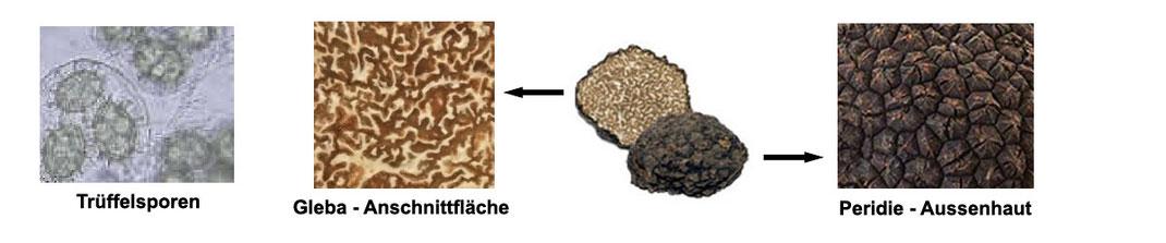 Die Trüffel besteht aus der Aussenhaut - Peridie und aus dem Inneren die Gleba der Trüffel