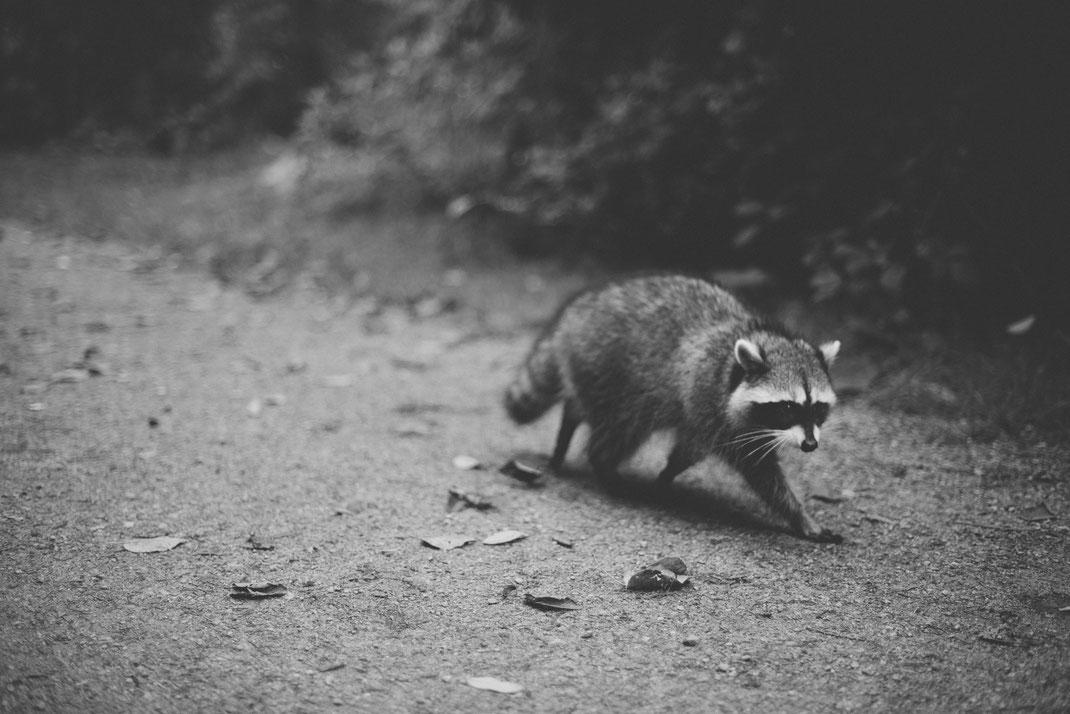 a raccoon walking through Stanley Park