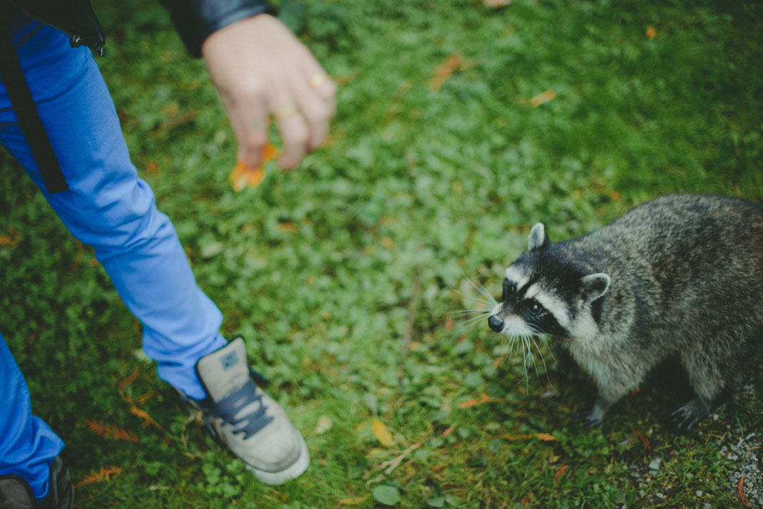 a raccoon approaching a passenger in Stanley Park
