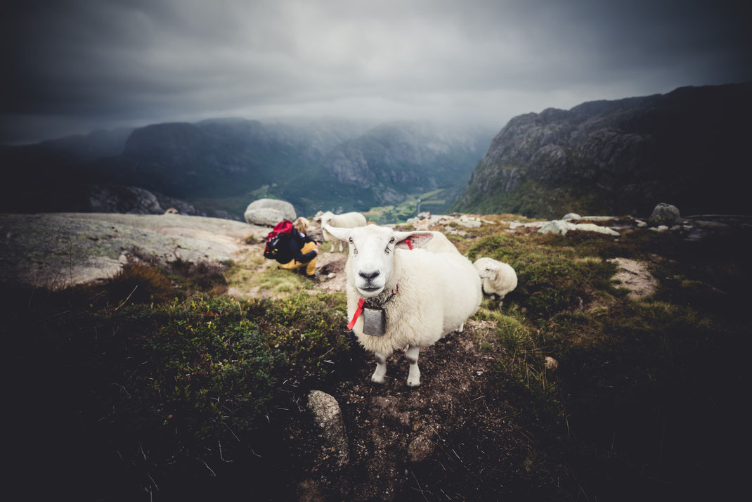 a sheep with a bell facing the camera in the mountains. a girl is sitting in the back.