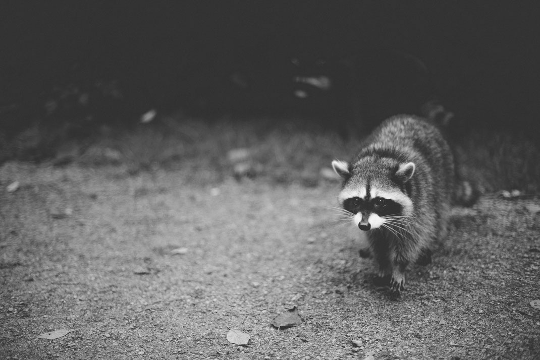 a raccoon in Stanley Park