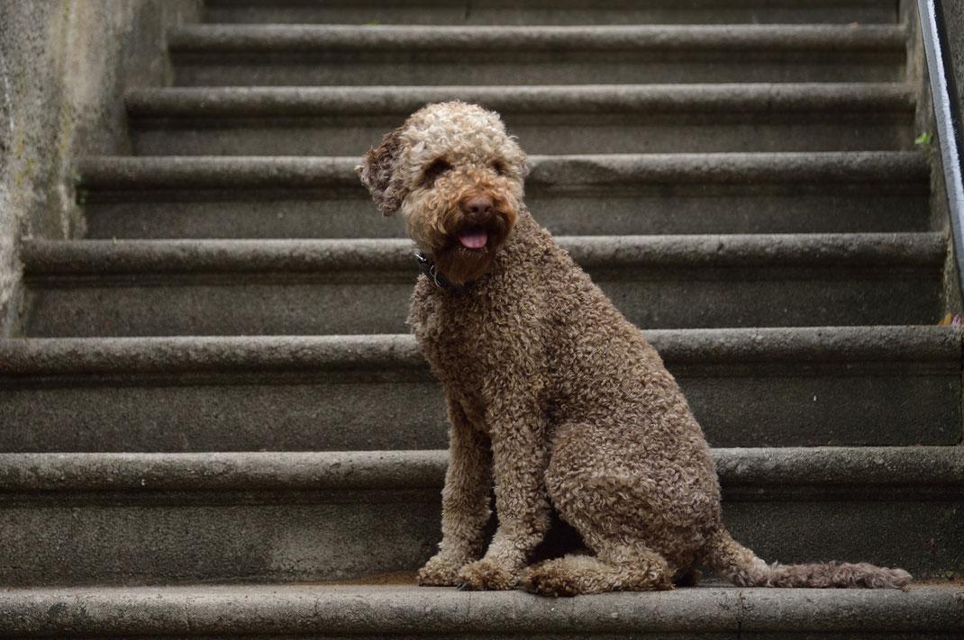 spanischer wasserhund züchter