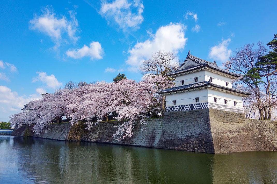 桜満開の重要文化財の新発田城隅櫓(小柳はじめ撮影)