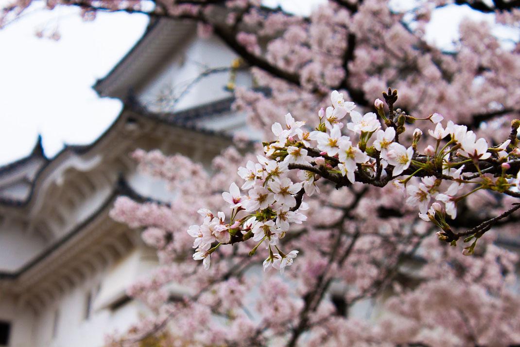 Cerisiers et château japonais
