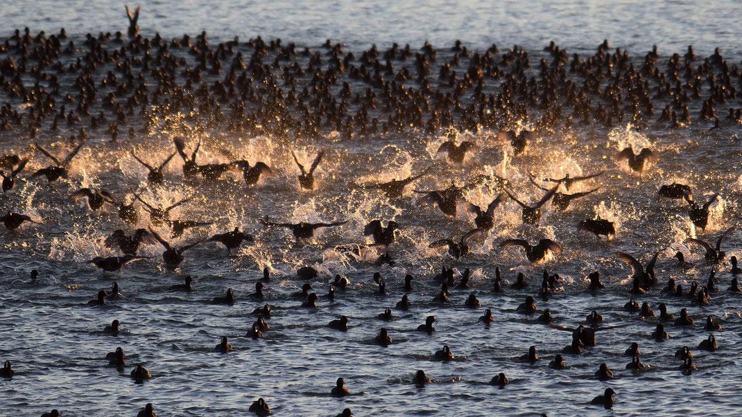 Blässhühner zählen zu den häufigsten Überwinterern am Starnberger See © Olliver Wittig, LBV-Bildarchiv