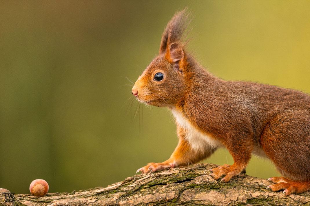 Eichhörnchen sieht eine Haselnuss auf einem Baumstamm