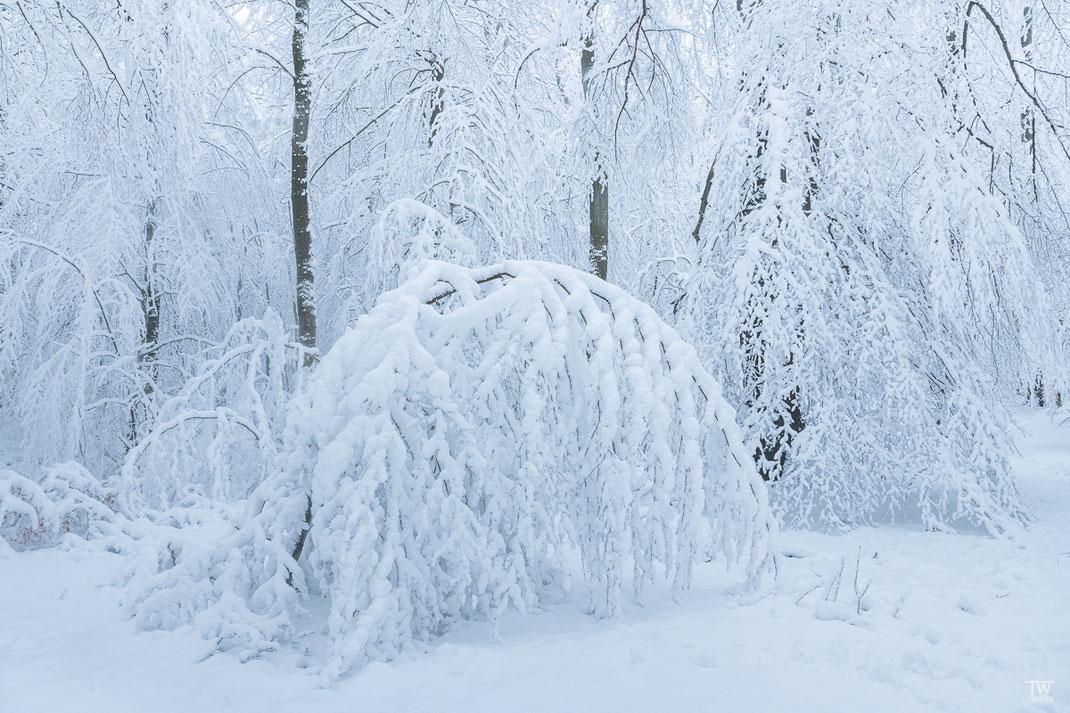 …sowie tief verschneite Wälder mit filgranen Schnee-bedeckten Zweigen… (B2347)