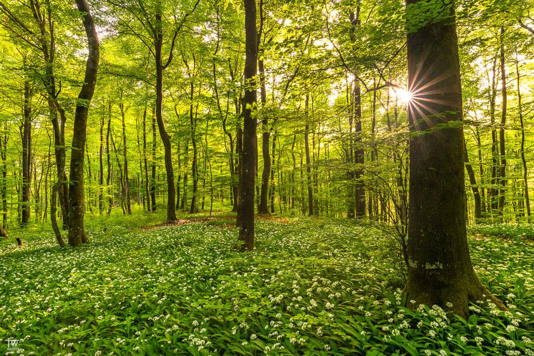 Die Sonnensterne ändern sich aufgrund des dichten Blattwerkes beinahe sekündlich, hier brauch man als Fotograf etwas Geduld (B2013)