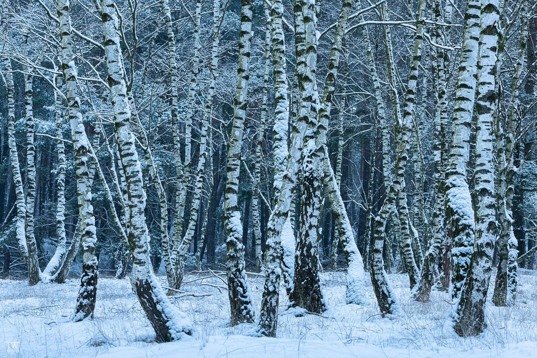 In diesem Birkenwald lag nur einmal eine leichte Schneedecke, wenigstens für ein paar Stunden hielten sich die Bedingungen (B2345)