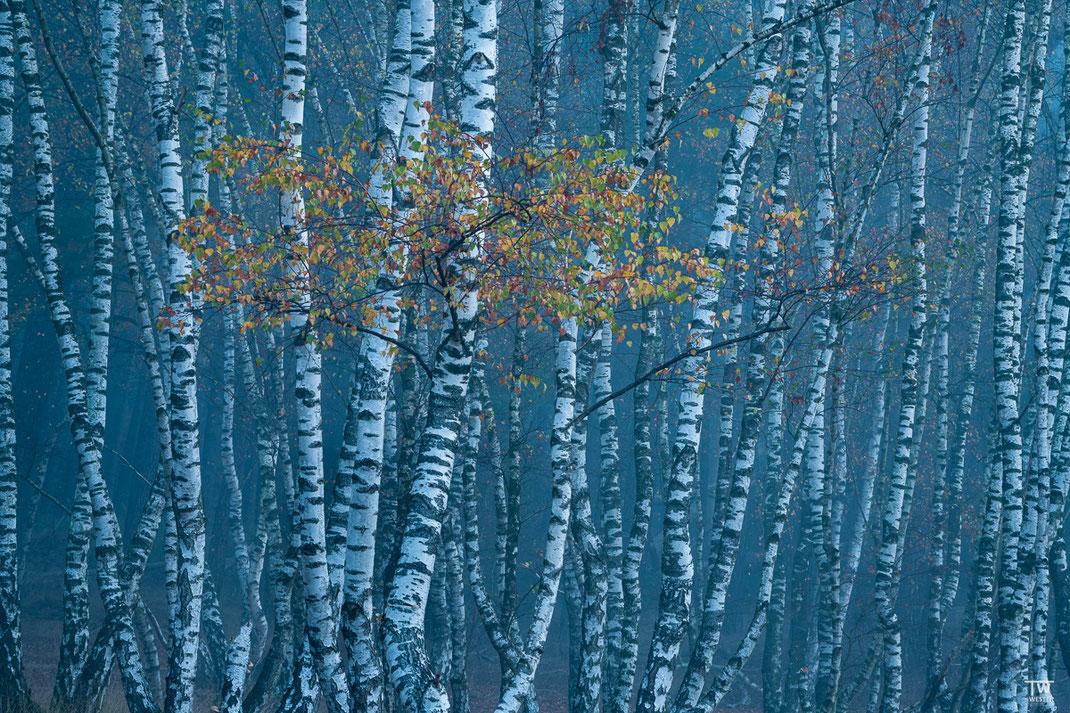 Mystery birches (B2279)