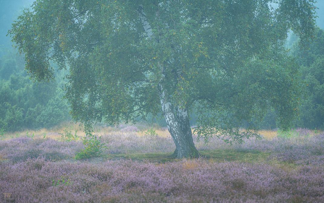 Gerade die alten Birken haben es mir angetan; hier während eines sehr nebligen Tages ohne viel Sonne… (B2749)