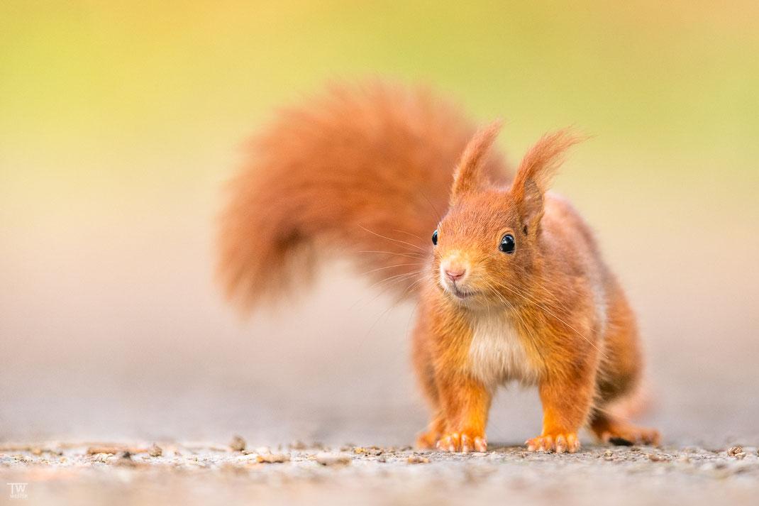 Eichhörnchen schaut in die Kamera
