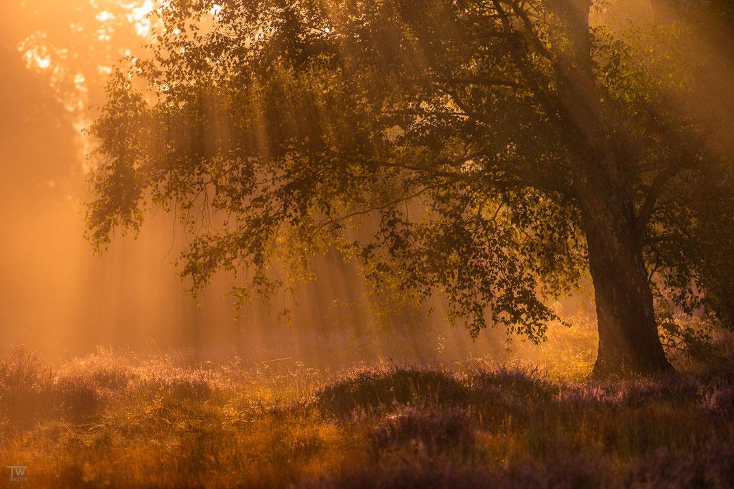 Durch die Mischung von Nebel und Sonne entstehen im Morgenlicht viele kleine Strahlen unterhalb der Äste (B2190)