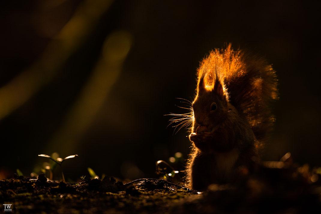 Eichhörnchen im letzten Abendlicht