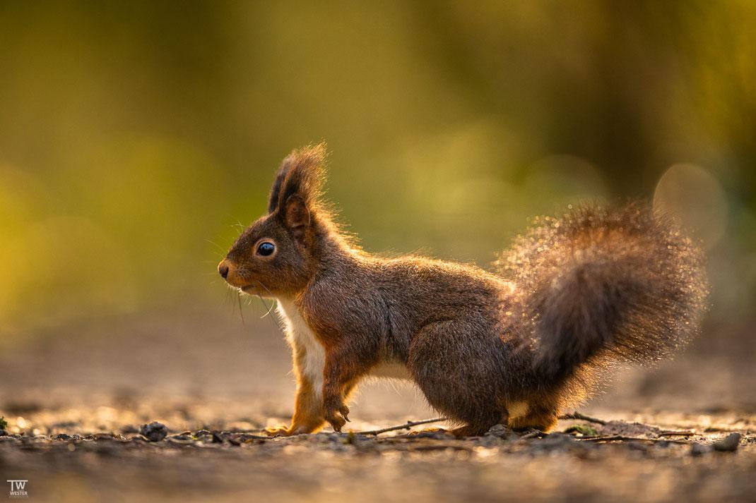 Eichhörnchen im Gegenlicht