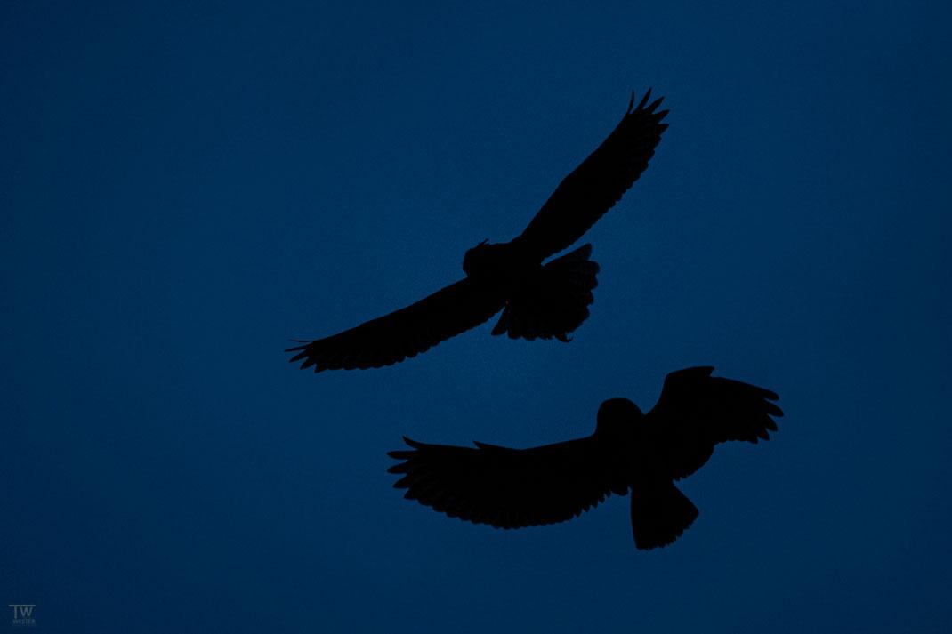 In der Morgendämmerung jagten sie sich und lernten spielerisch ihre Flugmanöver (B2706)