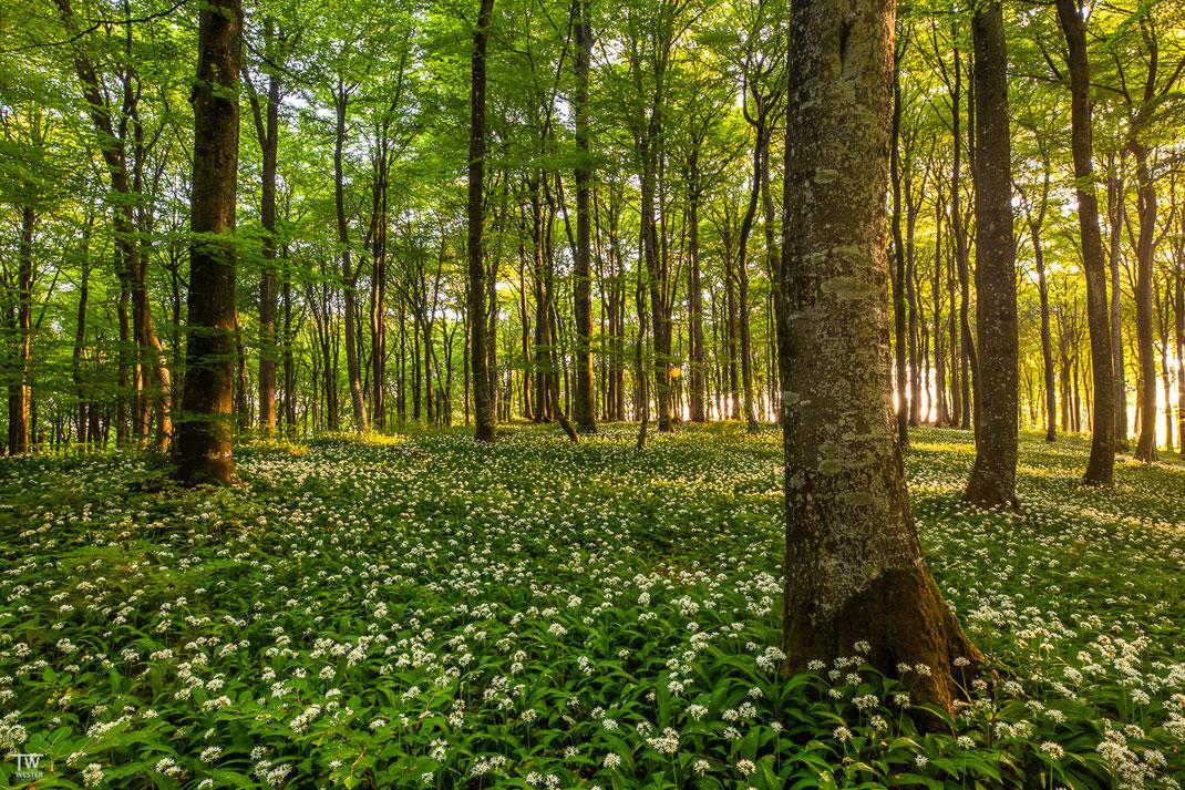 Dieses Waldstück war mein Favorit da die Buchen besonders alt waren (B2006)