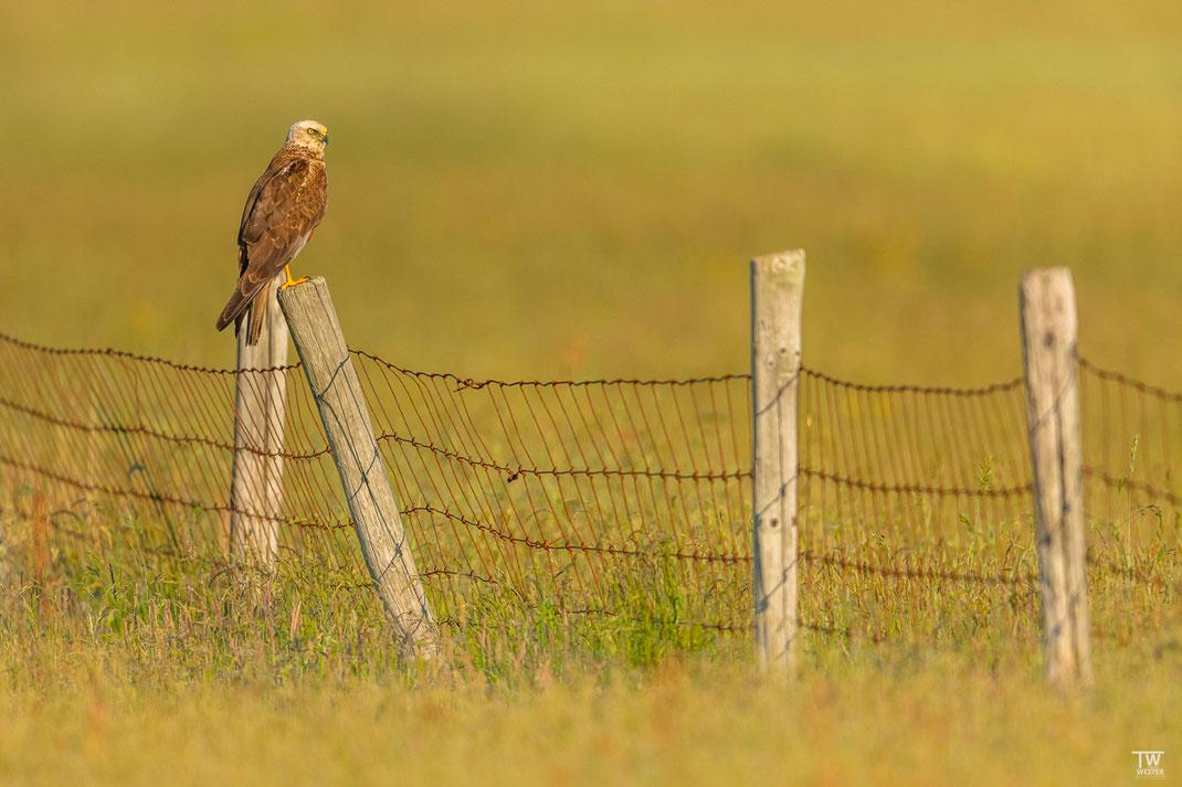 Auch diesen Vogel würde ich als Wahrzeichen bezeichnen; Rohrweihen sieht man dort immer wieder im Überflug; allerdings nur selten sitzend wie auf diesem Weidezaun (B2622)