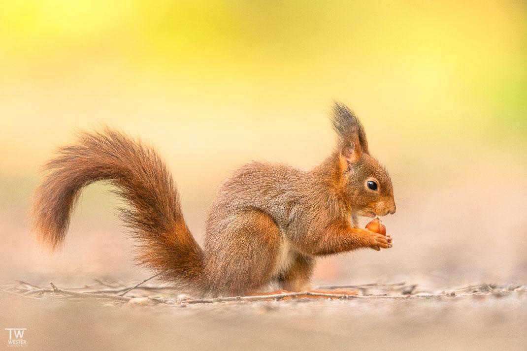 Kleines Eichhörnchen in Deutschland
