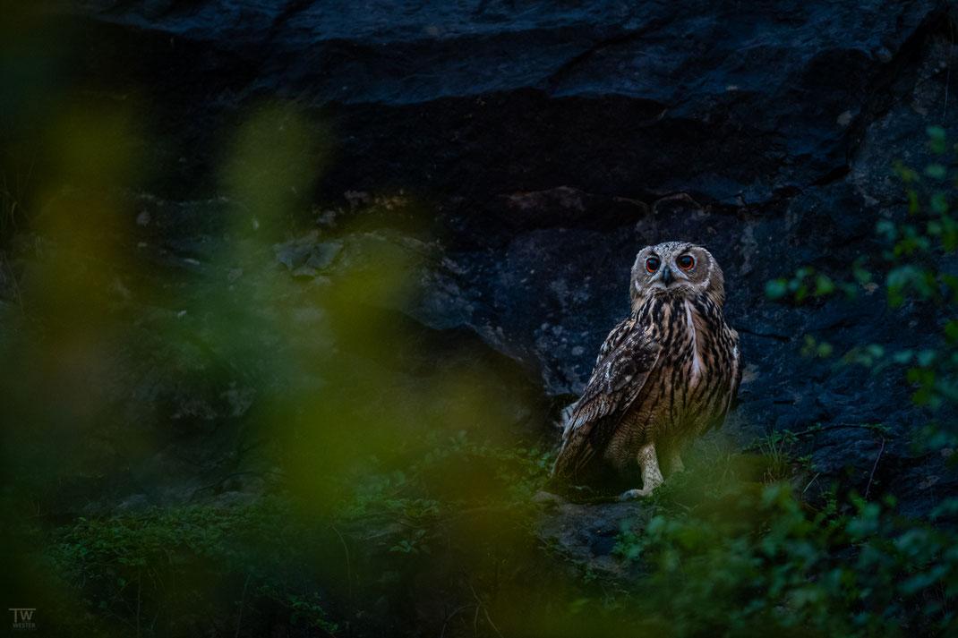 Am Steinbruch überblickte er die abendliche Weite; mit zunehmenden Alter jagten sie nachts auch außerhalb der Steilwände (B2720)
