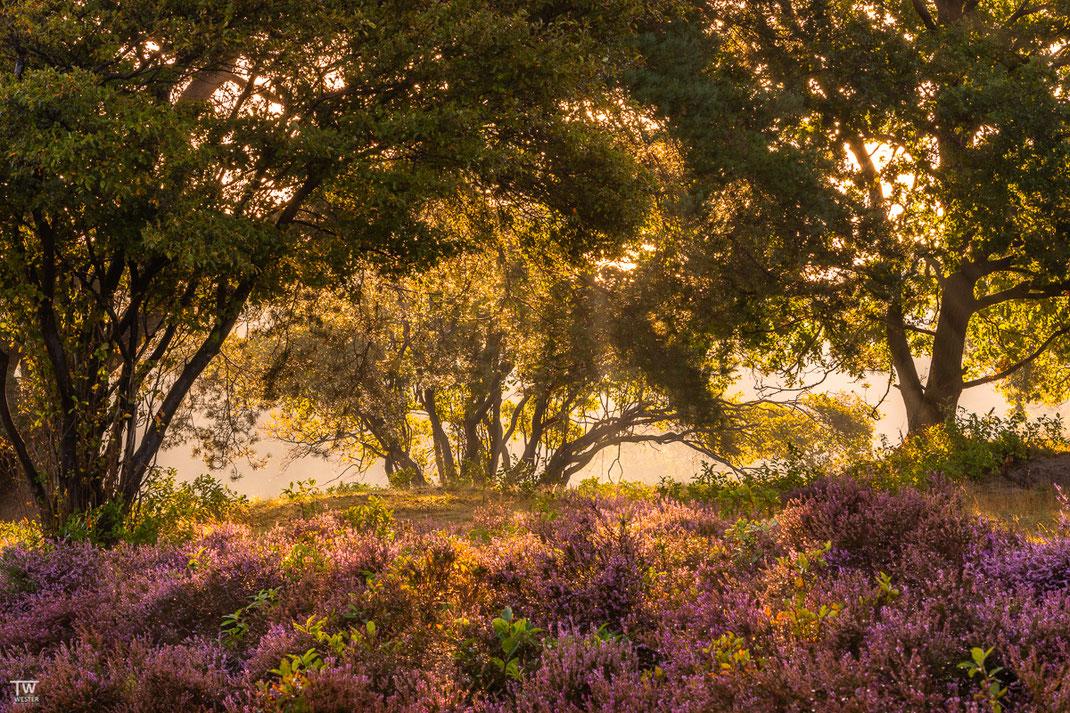 Leichter Nebel zog durch den kleinen Wald dieser Heidelandschaft (B2253)
