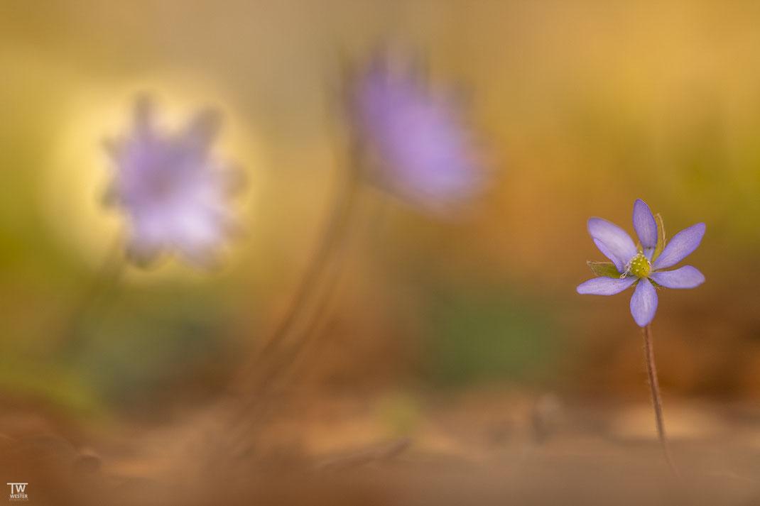 Wenige Individuen sind sehr klein und tragen nur 6 Blütenhüllblätter (B1923)