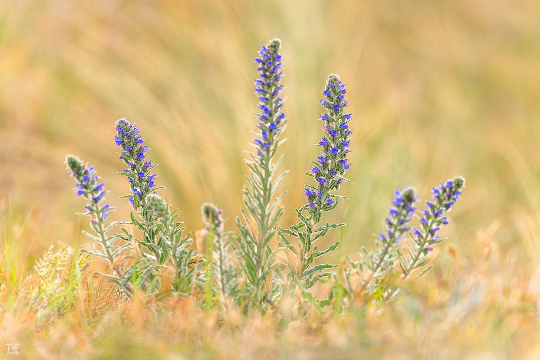 Auch die Pflanzen der Dünenlandschaften sind im Juni eine Augenweide (B2026)