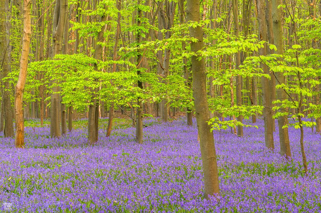 """Den blau-violetten """"Teppich"""" sieht man bereits aus der Entfernung leuchten! Hier allerdings an einem bewölkten Morgen (B1989)"""