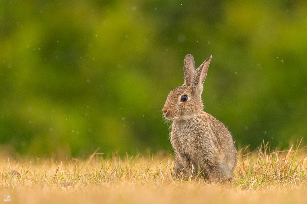 Die Kaninchenpopulation ist vor allem im Norden der Insel riesig, hier ein junges Kaninchen im Sprühregen (B2033)