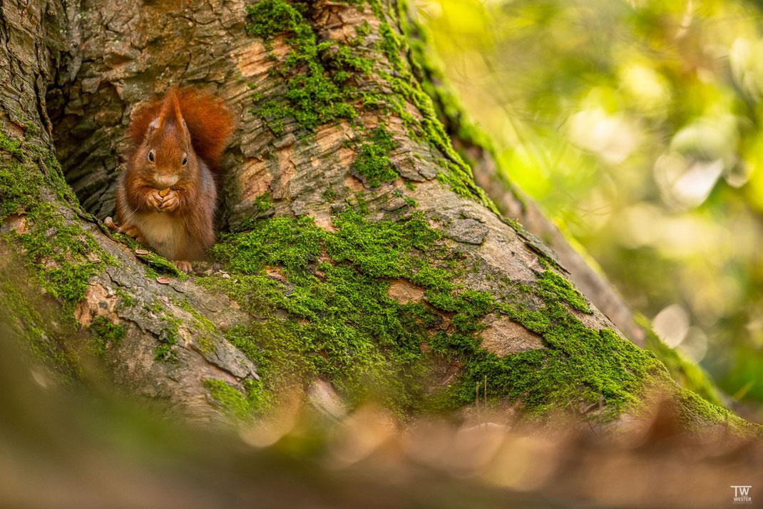 Eichhörnchen sitzt in Baumhöhle