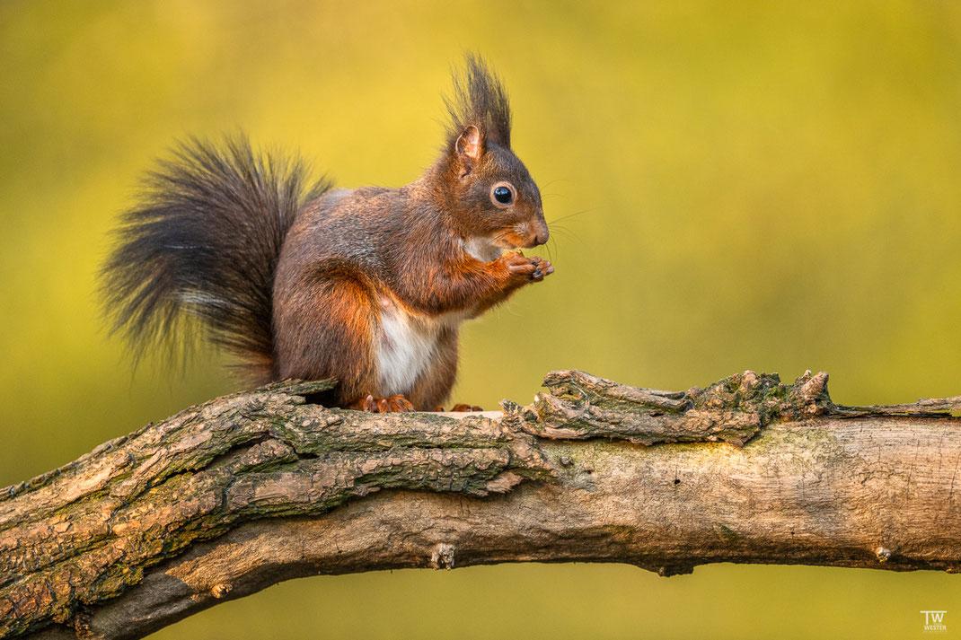 Eichhörnchen sitzt auf Baumstamm