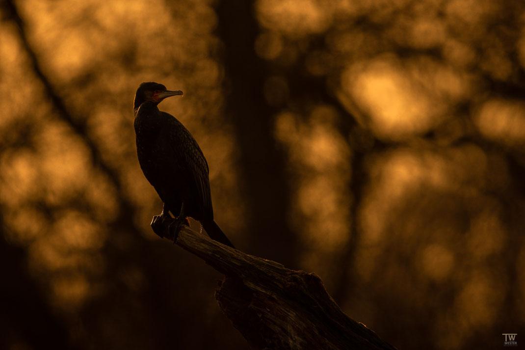 Ein Kormoran im Abendlicht (B2576)