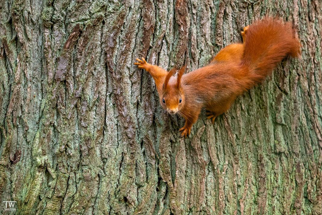 Eichhörnchen klettert über einen Baum