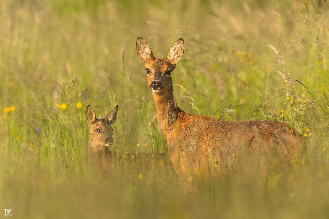 Dieses Jahr hat es auch mit dem Ablichten ihres Nachwuchses geklappt, der jedoch im hohen Gras noch gut versteckt war (B2103)