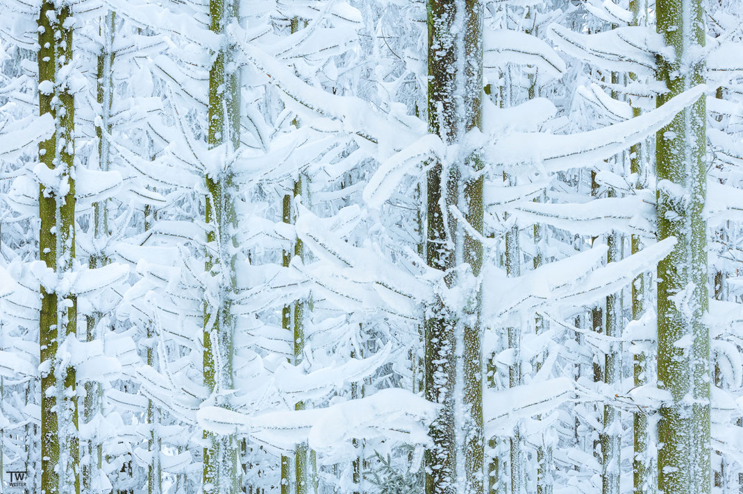 Auch die Nadelwälder waren weitestgehend vereist… (B2346)