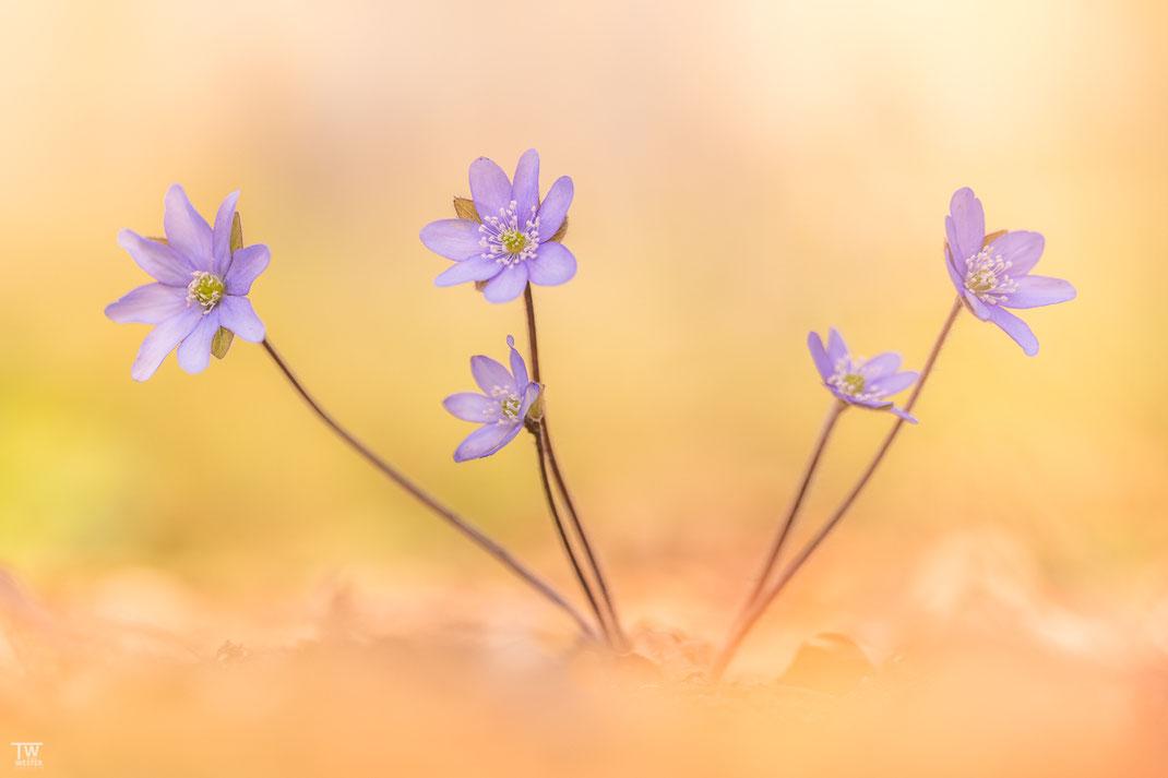 In der Regel tragen sie mehrere Blüten (B1934)