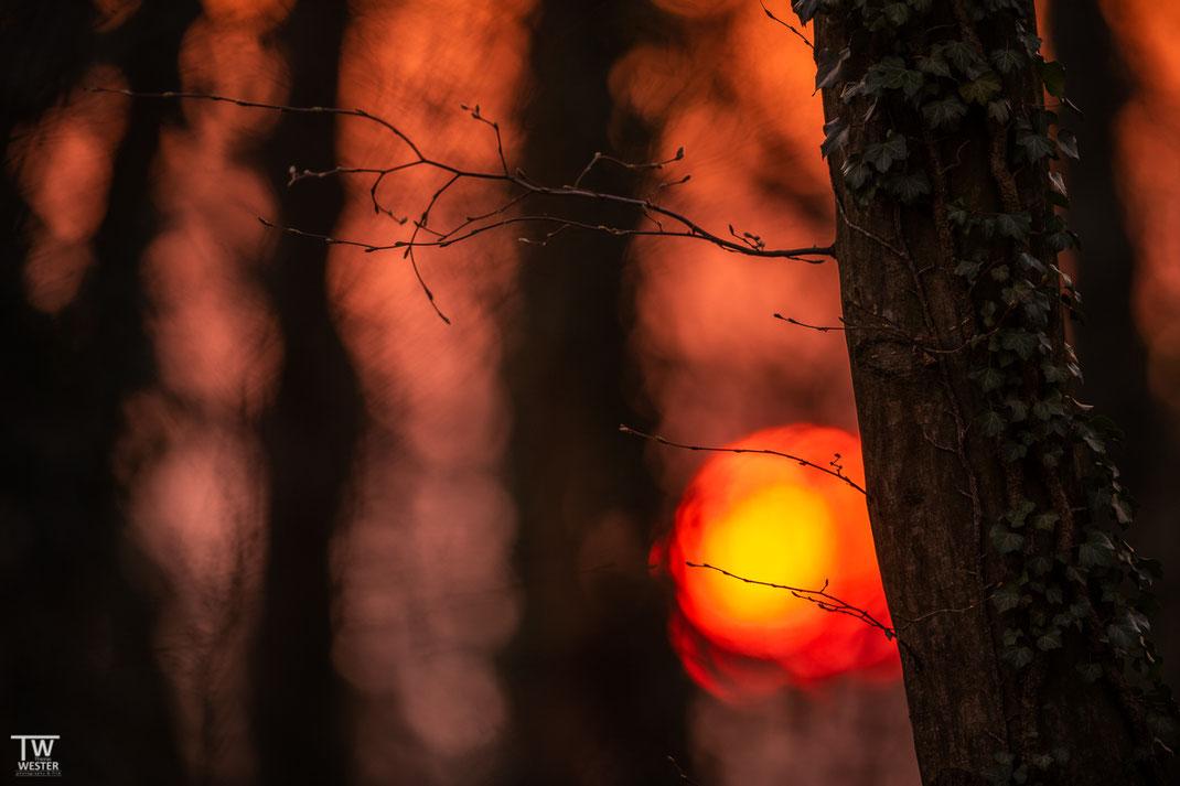 Der Sonnenuntergang in diesem Buchenwald war jeden Abend ein Highlight (B1930)