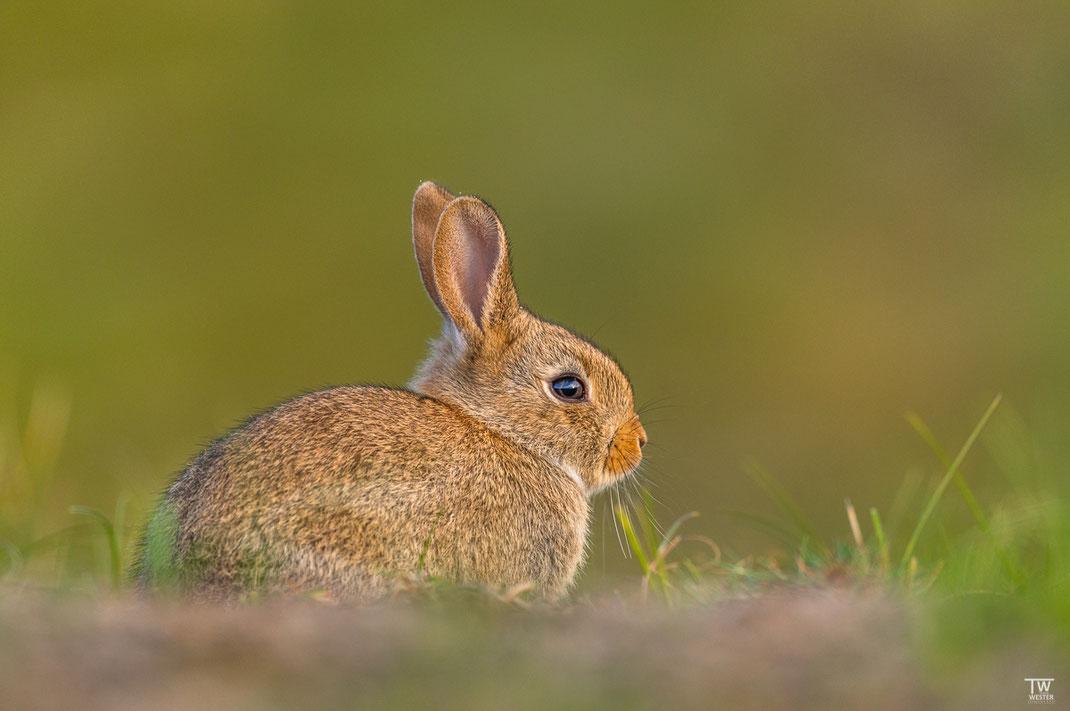 Ein sehr junges Kaninchen, es war wirklich winzig… (B2023)