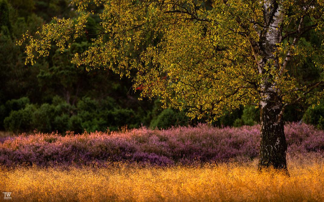 Detailaufnahmen der wunderbaren Birken sind mein Favorit; hier im schönsten Morgenlicht…. (B2736)