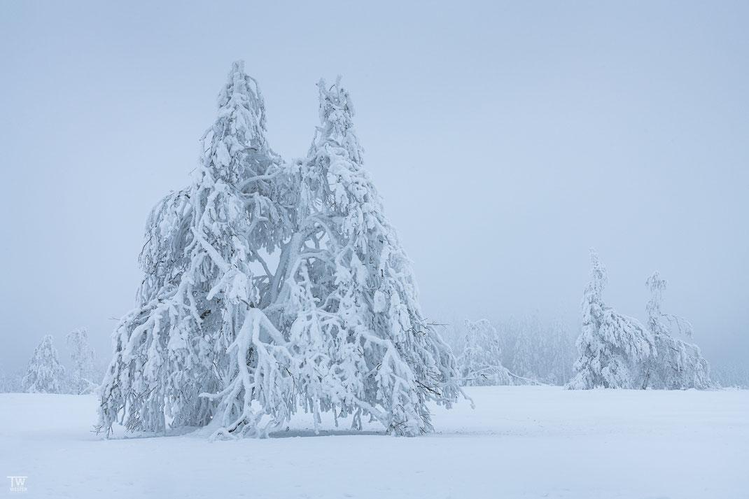 Standing in deep snow (B2464)