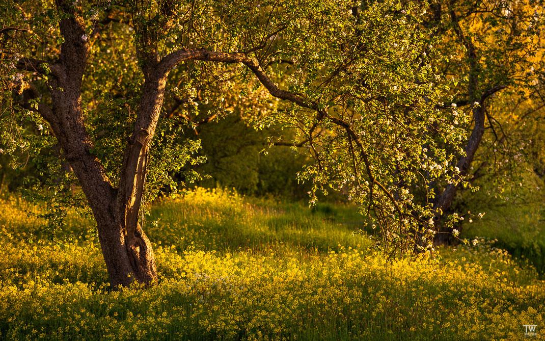 Alt, verkorkst und wunderschön sind die Bäume (B2604)