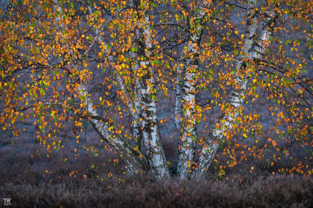 """""""Herbstbirke"""", Nov. 2020"""