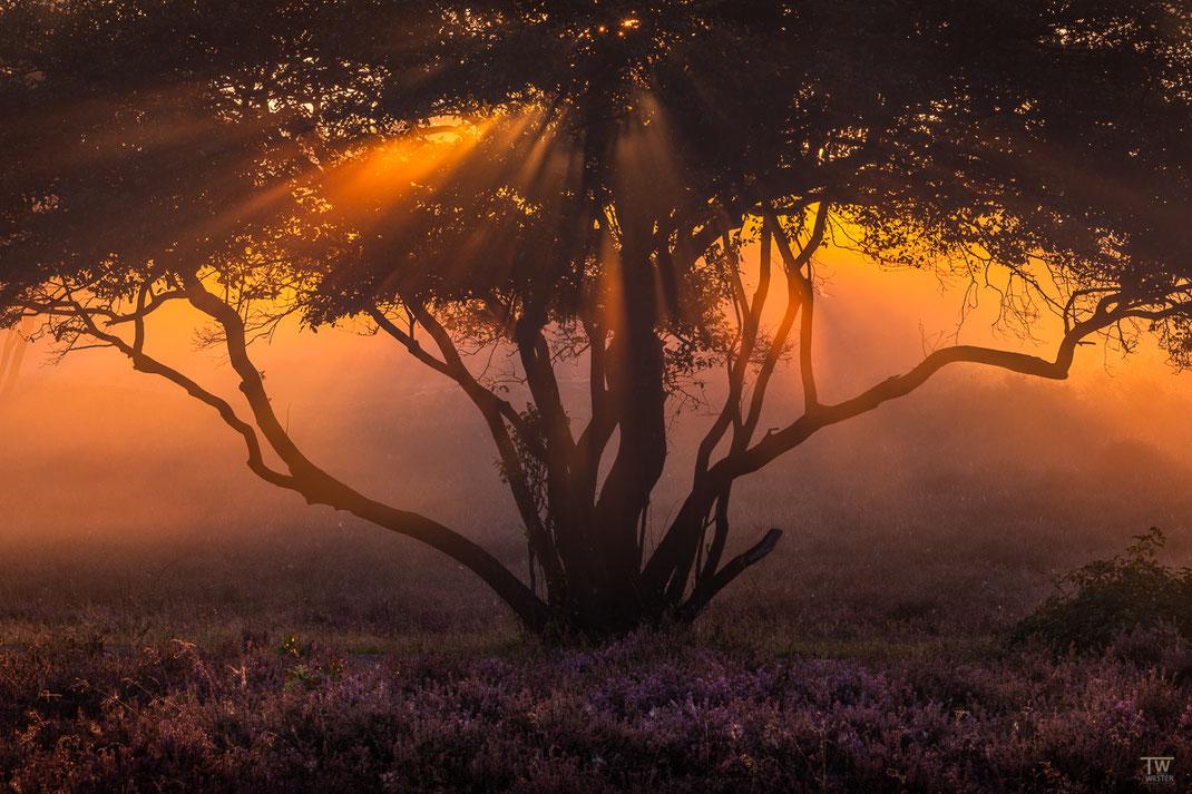 Die Lichtstrahlen wurden durch den Nebel an der dichten Baumkrone sichtbar (B2240)