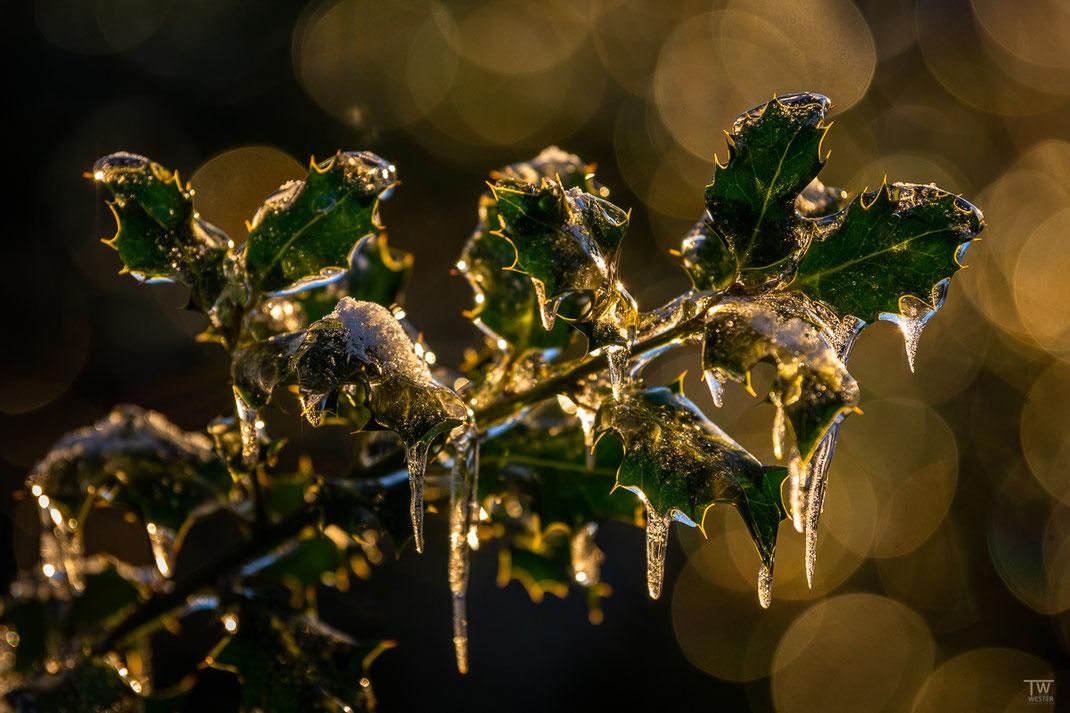 So ziemlich alle Pflanzen des Waldes waren mit Eis überzogen (B2487)
