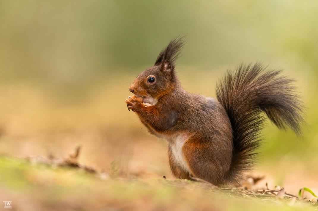 Eichhörnchen sitzt auf dem Waldboden