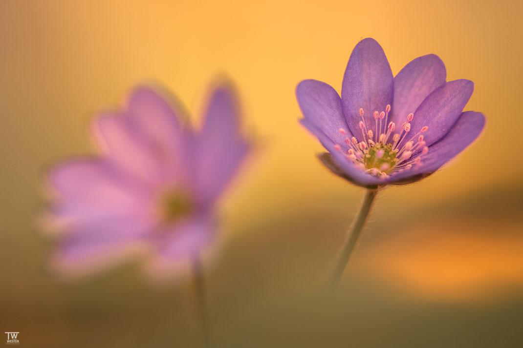 Hier mal die eher seltenere dunkel violette Ausprägung (B1932)