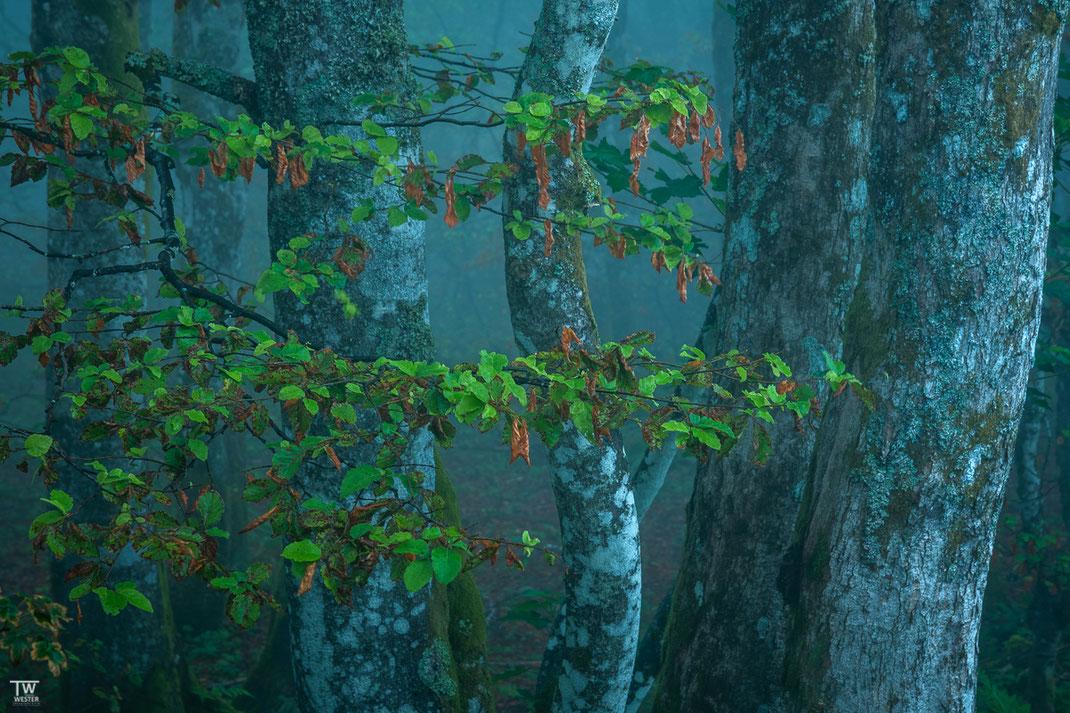 Die Baumstämme waren überall Weiß überzogen (B2165)