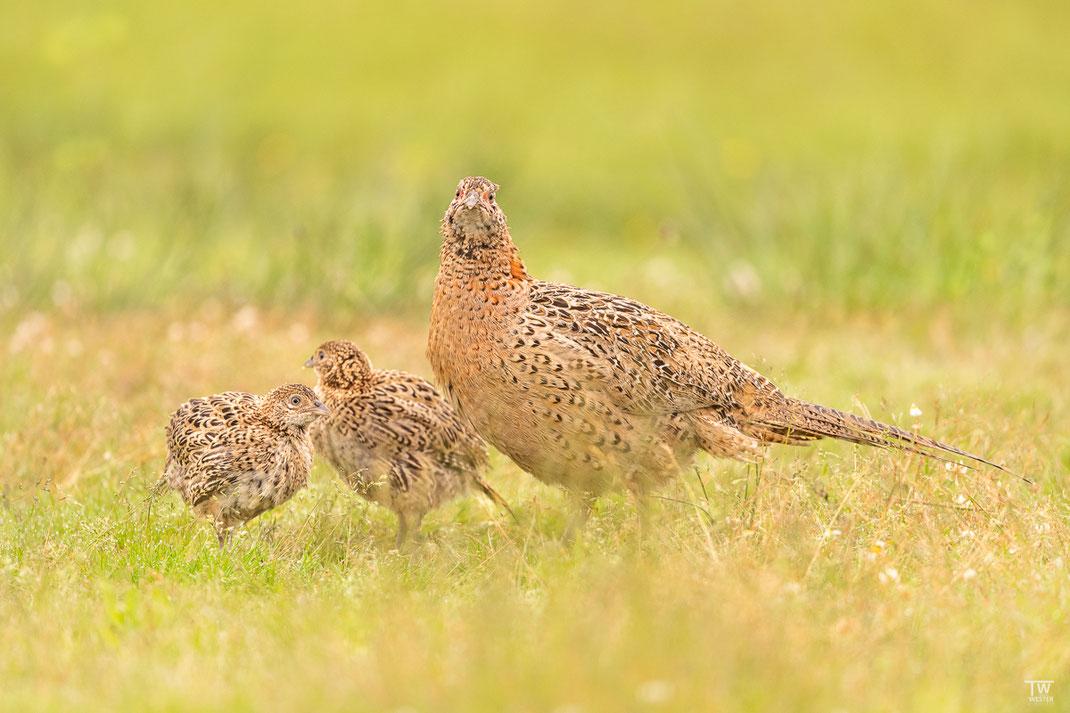 Die Jungen kamen immer wieder zum Fasanen-Weibchen und lernten aus ihrem Verhalten (B2629)