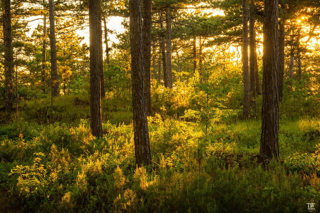 Dieser Kiefernwald liegt gleich vor dem Dünengebiet und lässt abends noch viel Licht hinein (B2624)