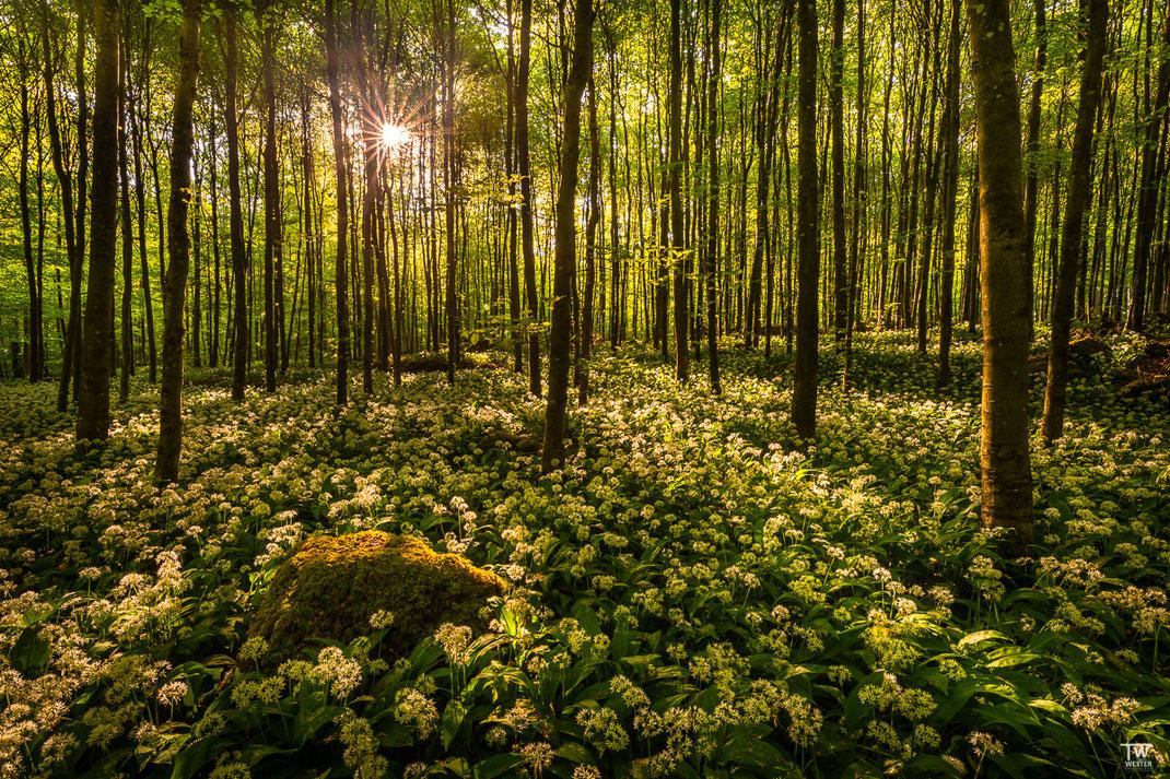 Und das Zweite im Gegenlicht im jungen Wald (B1993)